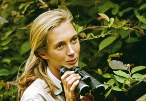 Scientist Jane Goodall in Gombe National Park, 1965